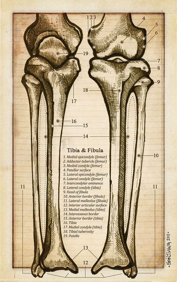 Anatomy of the Tibia and Fibula Flash Card - Antique Style ...