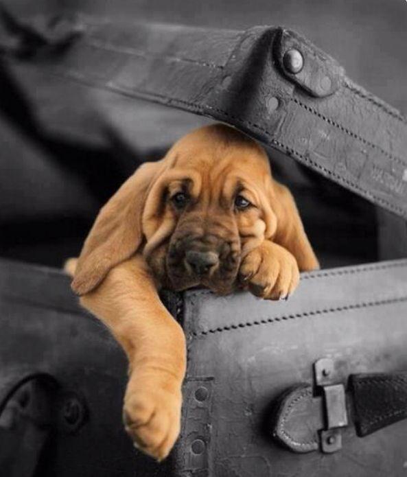 Can I go with you, pleeeeeease? | Bloodhound