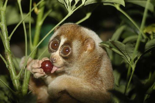 10 Animals That Have Big Eyes Slow Loris Worlds Cutest Animals Cute Animals