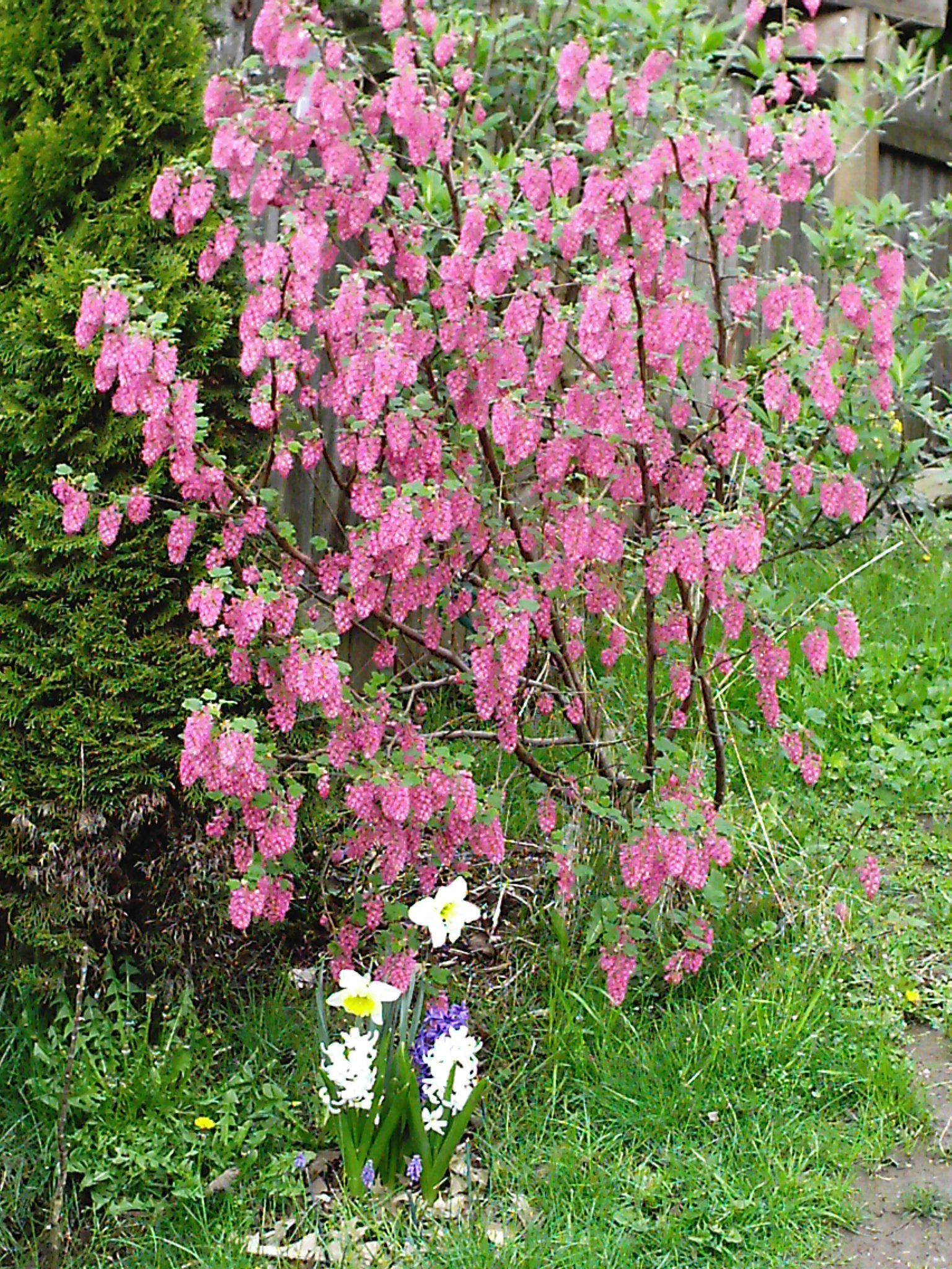 Ribes Sanguineum Red Flowering Currant