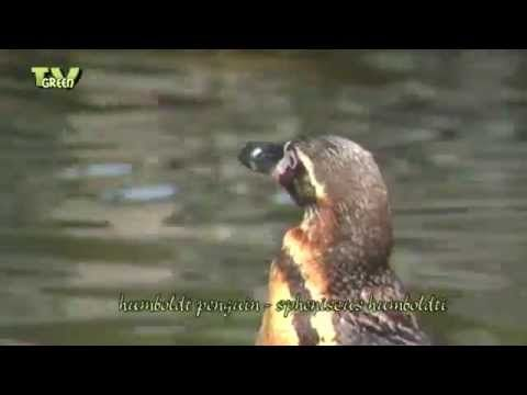 Classic clip: Meet the Humboldt_Penquin - YouTube