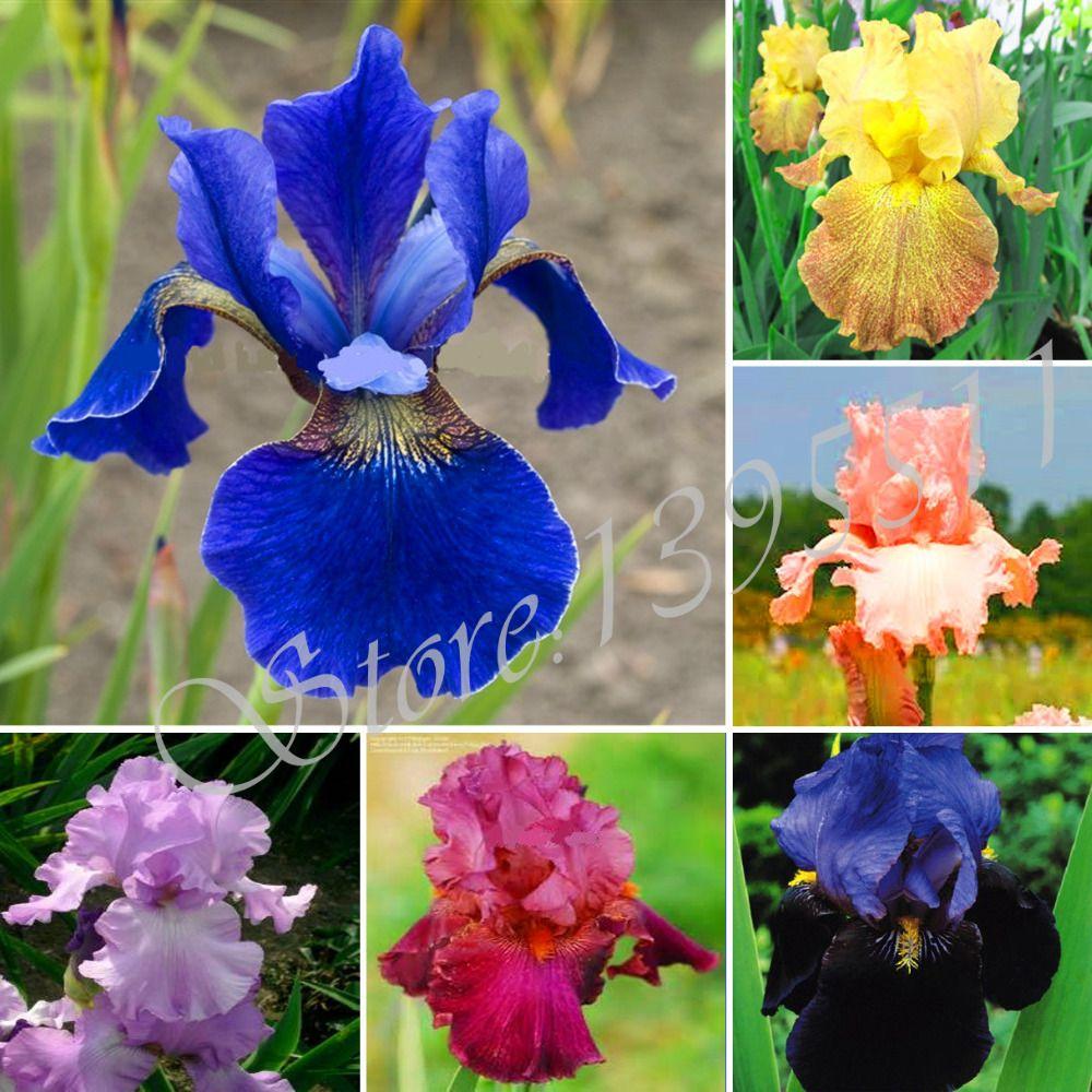 100pcs orchid iris germanica seeds rare bonsai orchid flower seeds 100pcs orchid iris germanica seeds rare bonsai orchid flower seeds for garden home garden seeds perennial izmirmasajfo
