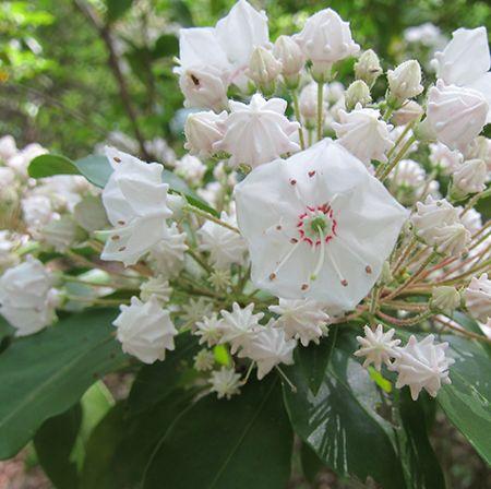 Mountain Laurel - Kalmia Latifolia #blooms #blossoms #hiking #kalmialatifolia #mountainlaurel #nature #spring