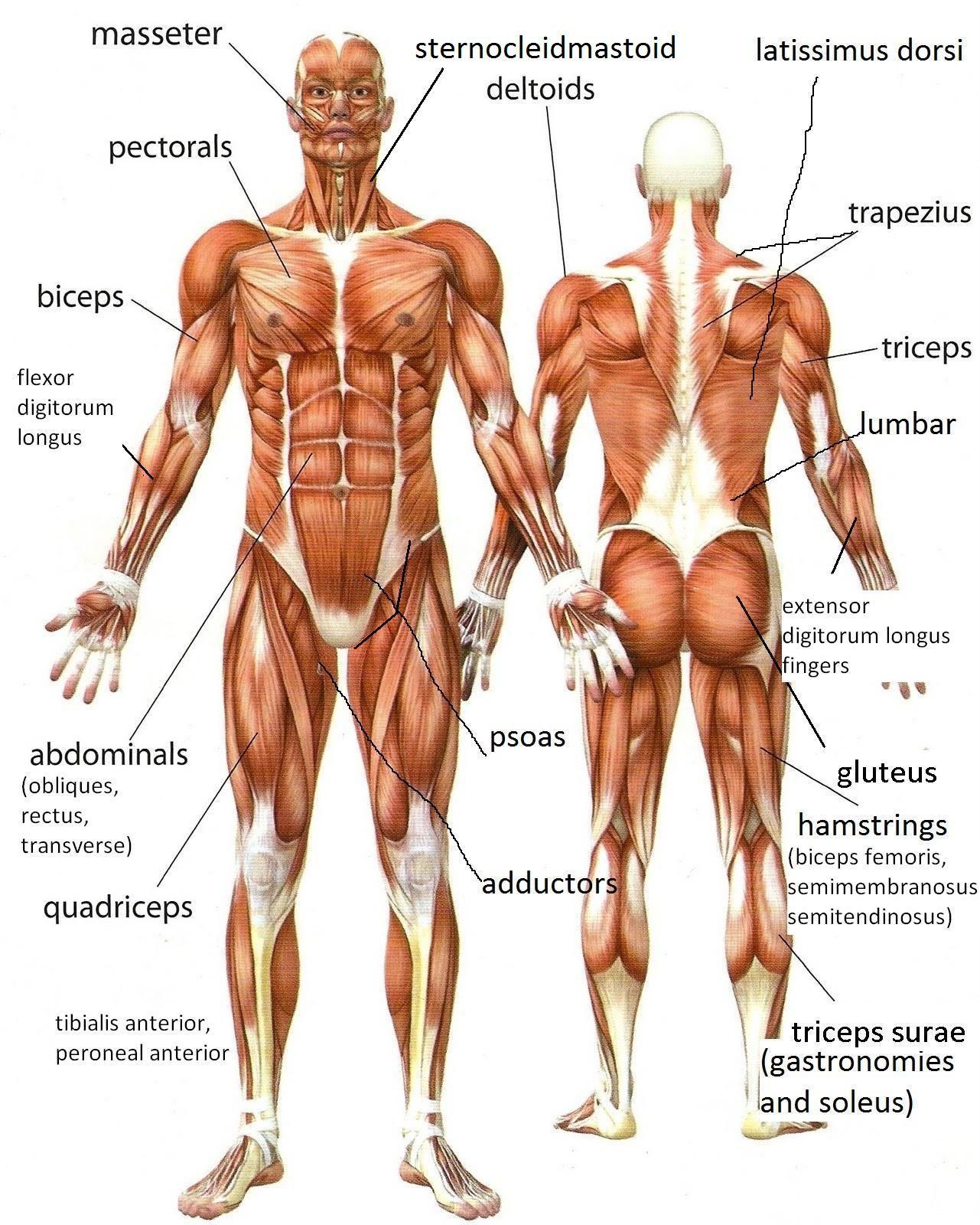 MUSCULOS DEL CUERPO HUMANO (ESPAÑOL E INGLÉS) | Masoterapia ...