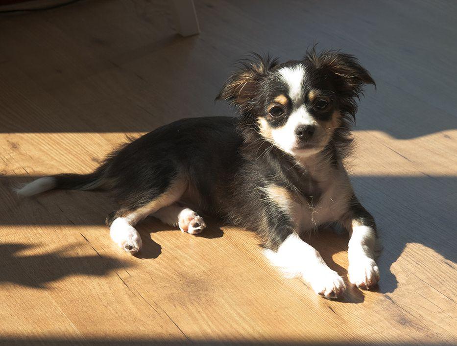 Baloot Chihuahua X Maltese Pawshake Lustige Hunde Hundebilder