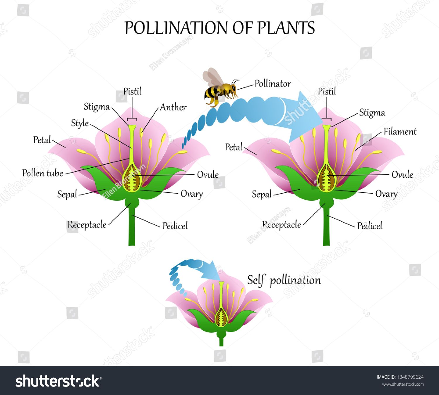 Pollinating Plants With Insects And Self Pollination Flower Anatomy Education Diagram Botanical Biology Banner Vect Flower Anatomy Pollination Plant Insects