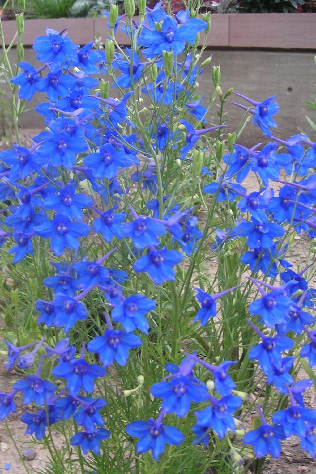 Delphinium Butterfly Blue Flowers Pinterest Delphinium