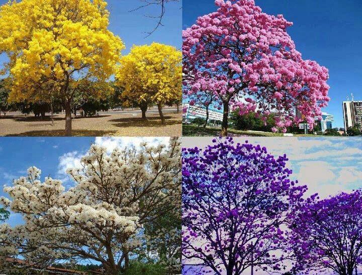 IPÊS FLORIDOS EM CAMPO GRANDE MATO GROSSO BRASIL | Flores brasileiras,  Natureza, Viagens