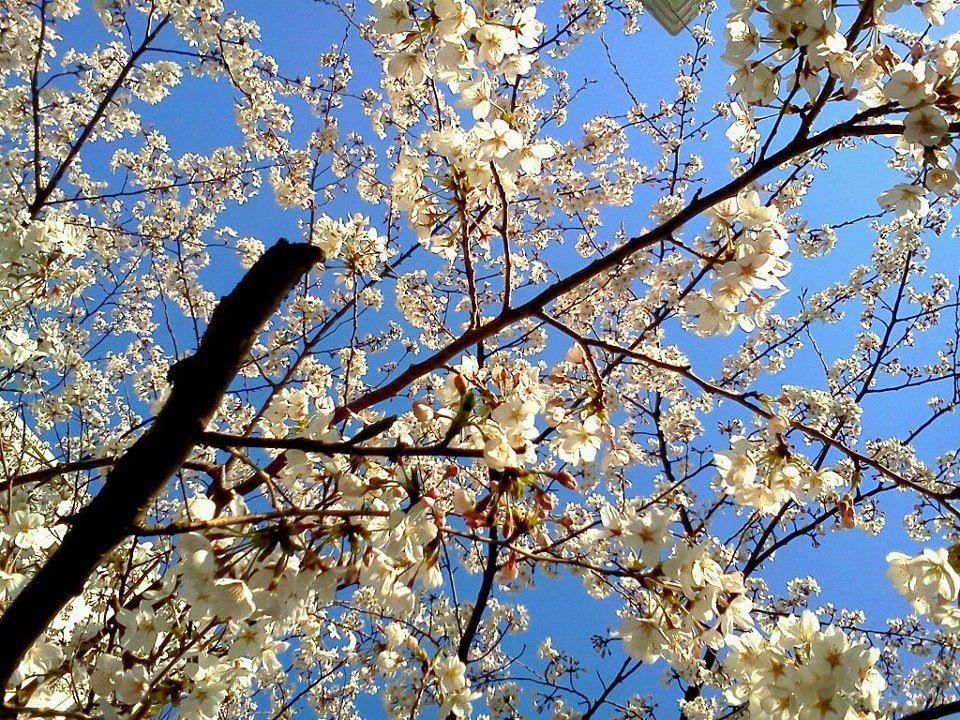 Cherry blossom season, Tokyo, Japan.
