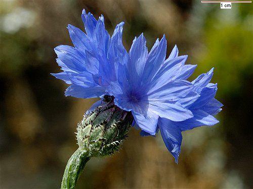 Bachelors Buttons List Of Flowers List Of Edible Flowers Edible Flowers