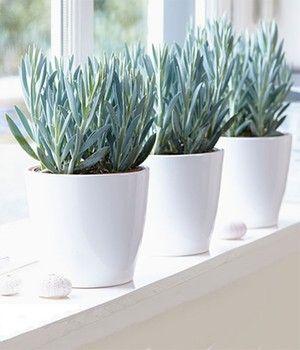 senecio aquarine 39 mount everest 39 pflanzen pflanzen. Black Bedroom Furniture Sets. Home Design Ideas