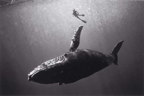 Humpback Whale and Swimmer