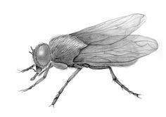 pencil drawing of a fly  insect sketch