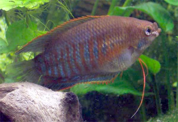 Gourami bubble nest pictures — 1