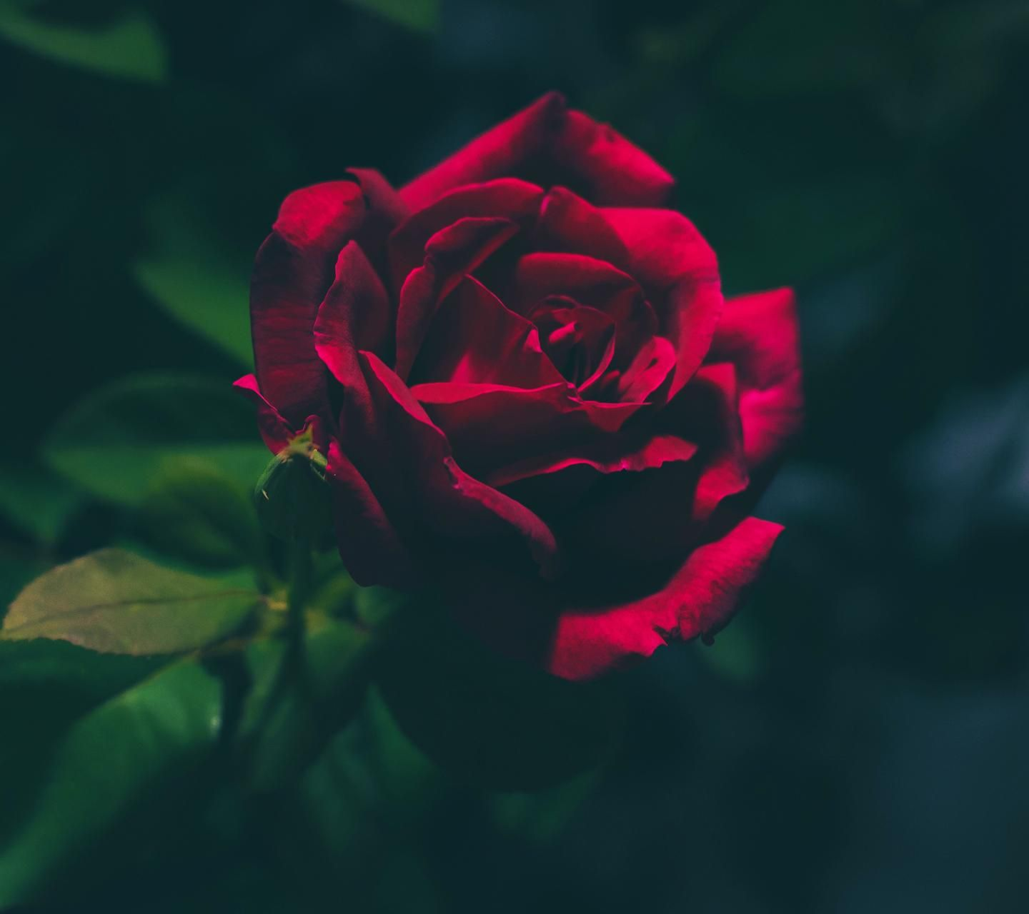 Download Rose Wallpaper Now Browse Millions Of Popular Wallpapers