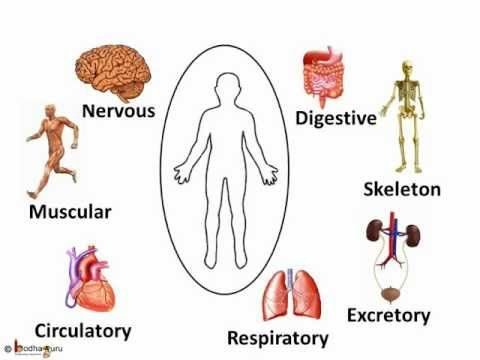 Science - Human Body Organ systems - English | Kids ...