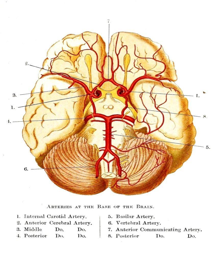 Base Of The Cerebrum Diagram Delapananito