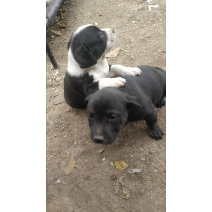 Pitbull Puppies For Sale Indiana Pitbull Puppies For Sale