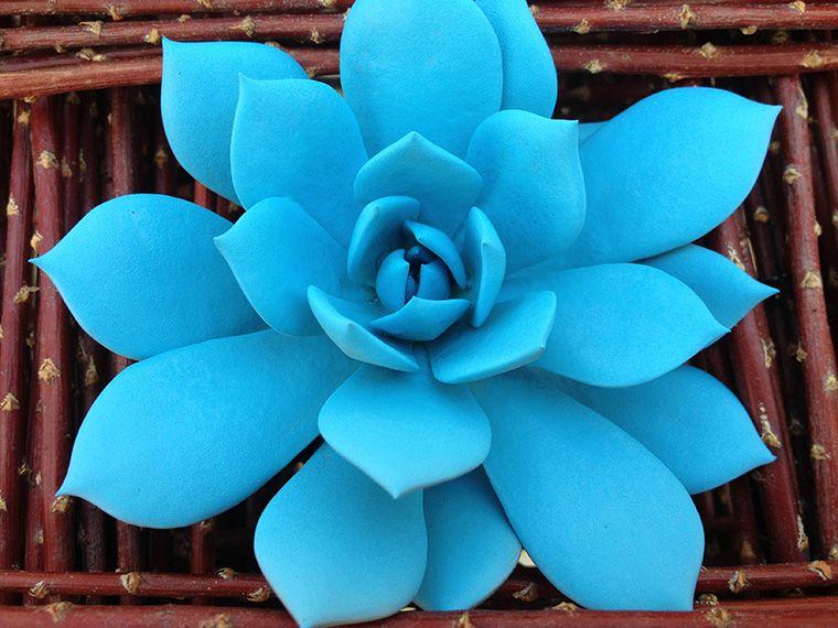 Blue Succulent Dramm And Echter 다육 식물