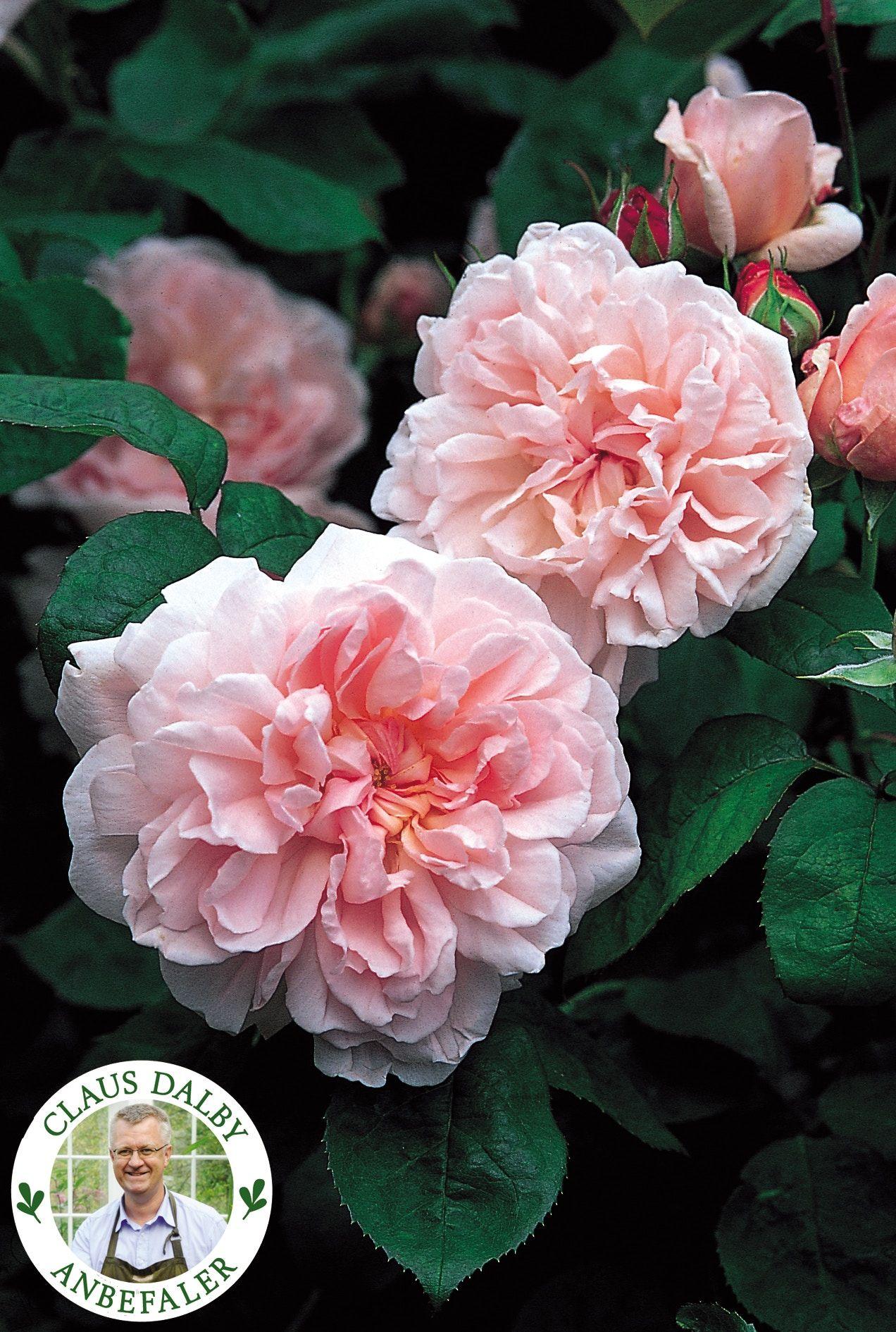 bilka roser