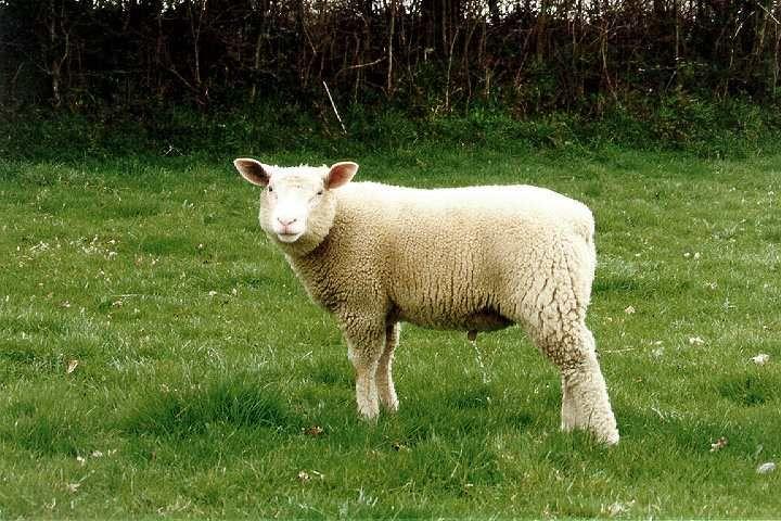race ovine Cotentin (avec images)