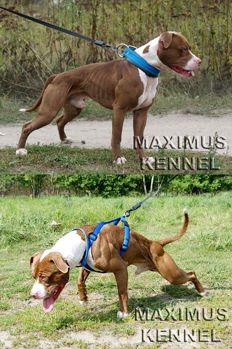 thembulldawgs: Maximus Kennels Casper #pitbulls #dog breeds #canine