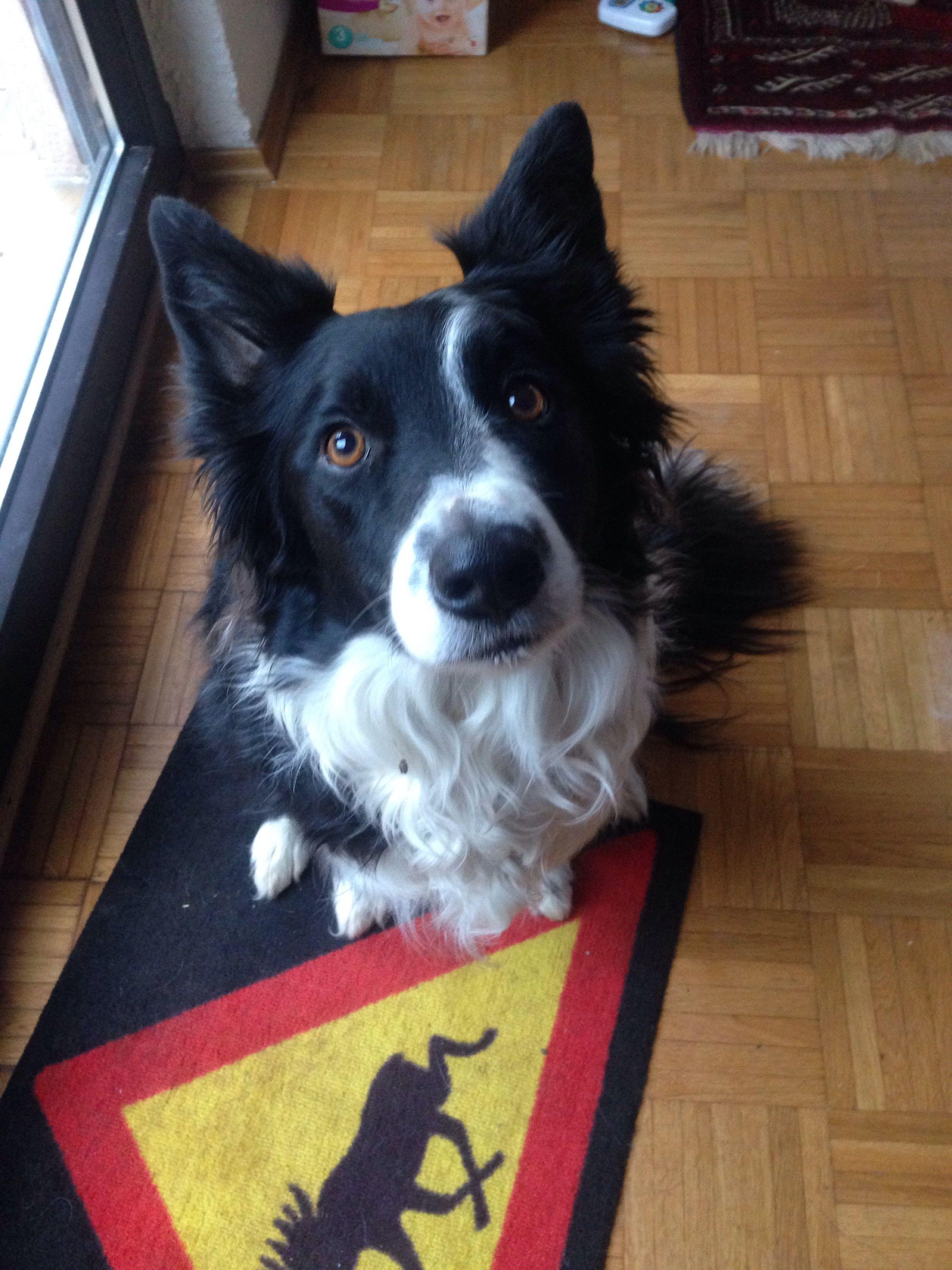 Kaze Border Collie Pawshake Schone Hunde Hunde Bilder