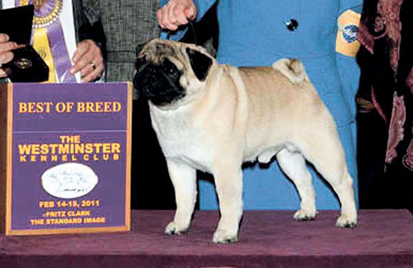 Lodi Pug Takes Best Of Breed At Westminster Dog Show Westminster