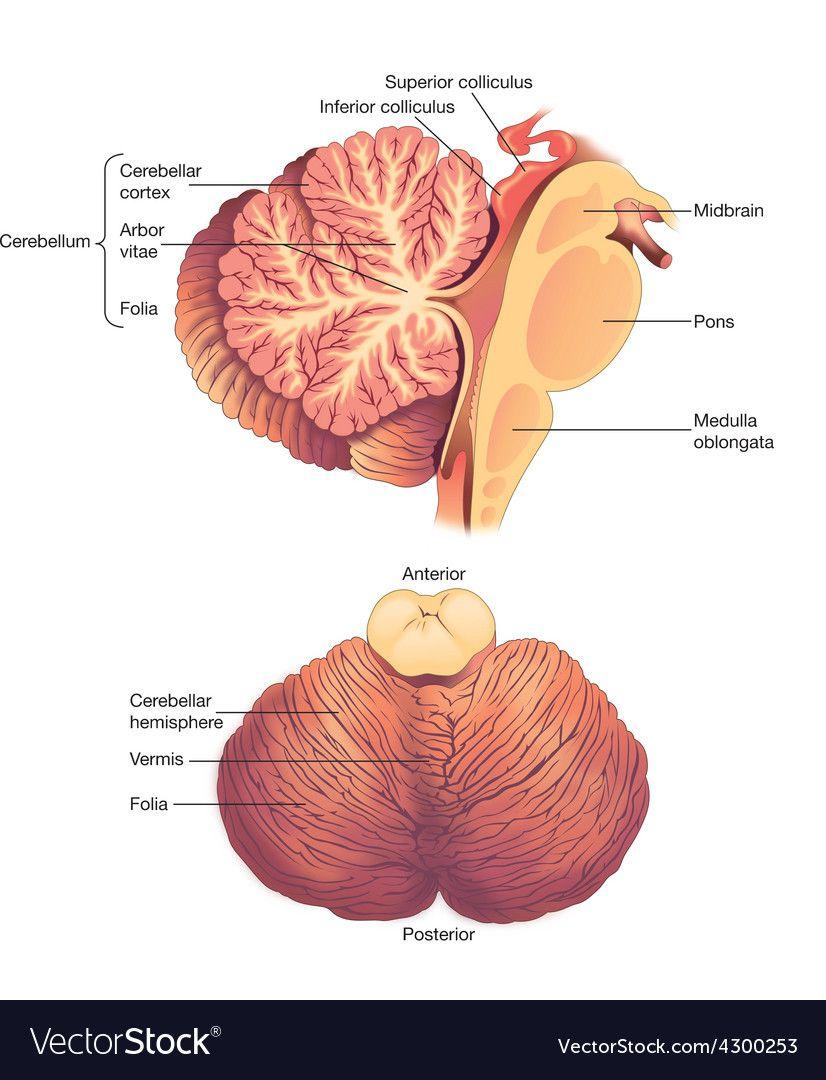 Pin On Brain Anatomy