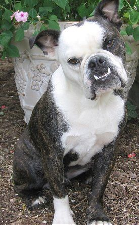 A Junkee Shoppe Inventory List Hybrid Dogs Mixed Breed Dogs Bulldog Dog