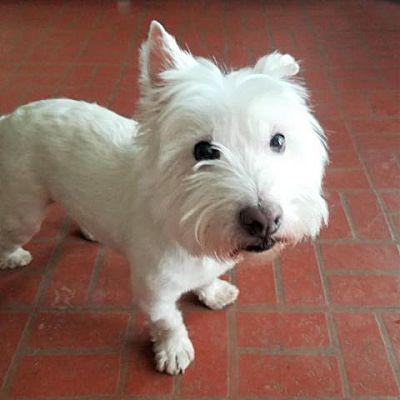 Von Ormy, TX Westie, West Highland White Terrier. Meet