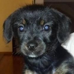 Sweetly Is An Adoptable Dachshund Dog In Elk Grove Village Il Phone 630 775 1819 Email Puppyfoste Puppy Breath Adoptable Dachshund Dog Animals Beautiful