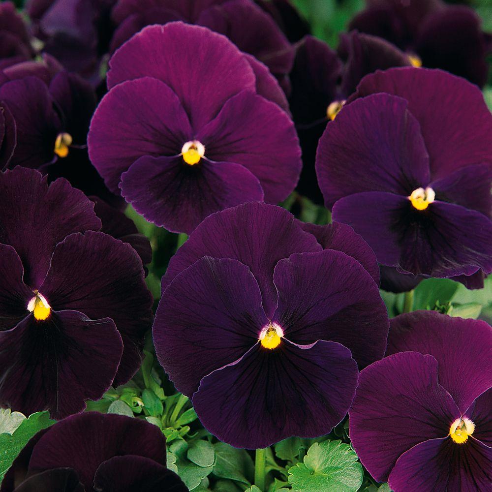 Pansy Bingo Deep Purple F1 Hybrid Perennial Biennial Seeds Thompson Morgan Worldwide Pansies Flowers Flower Seeds Pansies