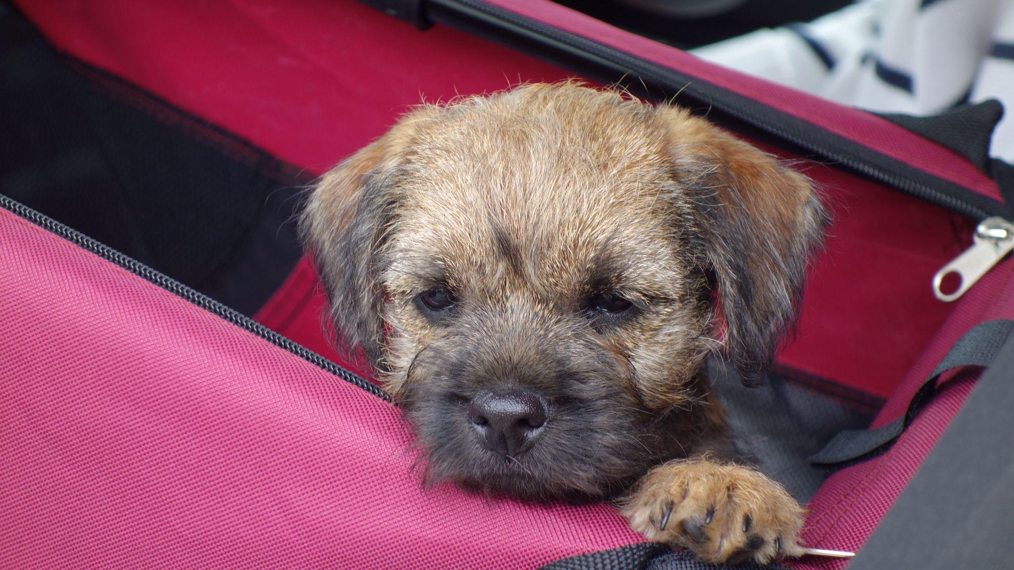 Hector 8 Weeks Old Border Terrier World Border Terrier