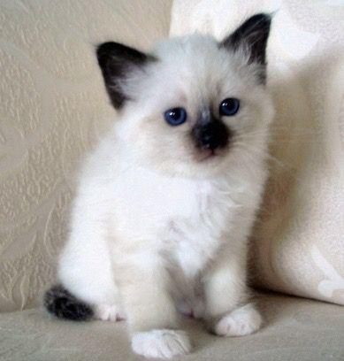 Color Point Siamese Kitten J Adore Cute Cats Beautiful Cats Pretty Cats