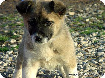 Parissipany Nj German Shepherd Dog Akita Mix Meet Sasha A Puppy For Adoption Shepherd Dog Puppy Adoption German Shepherd Dogs