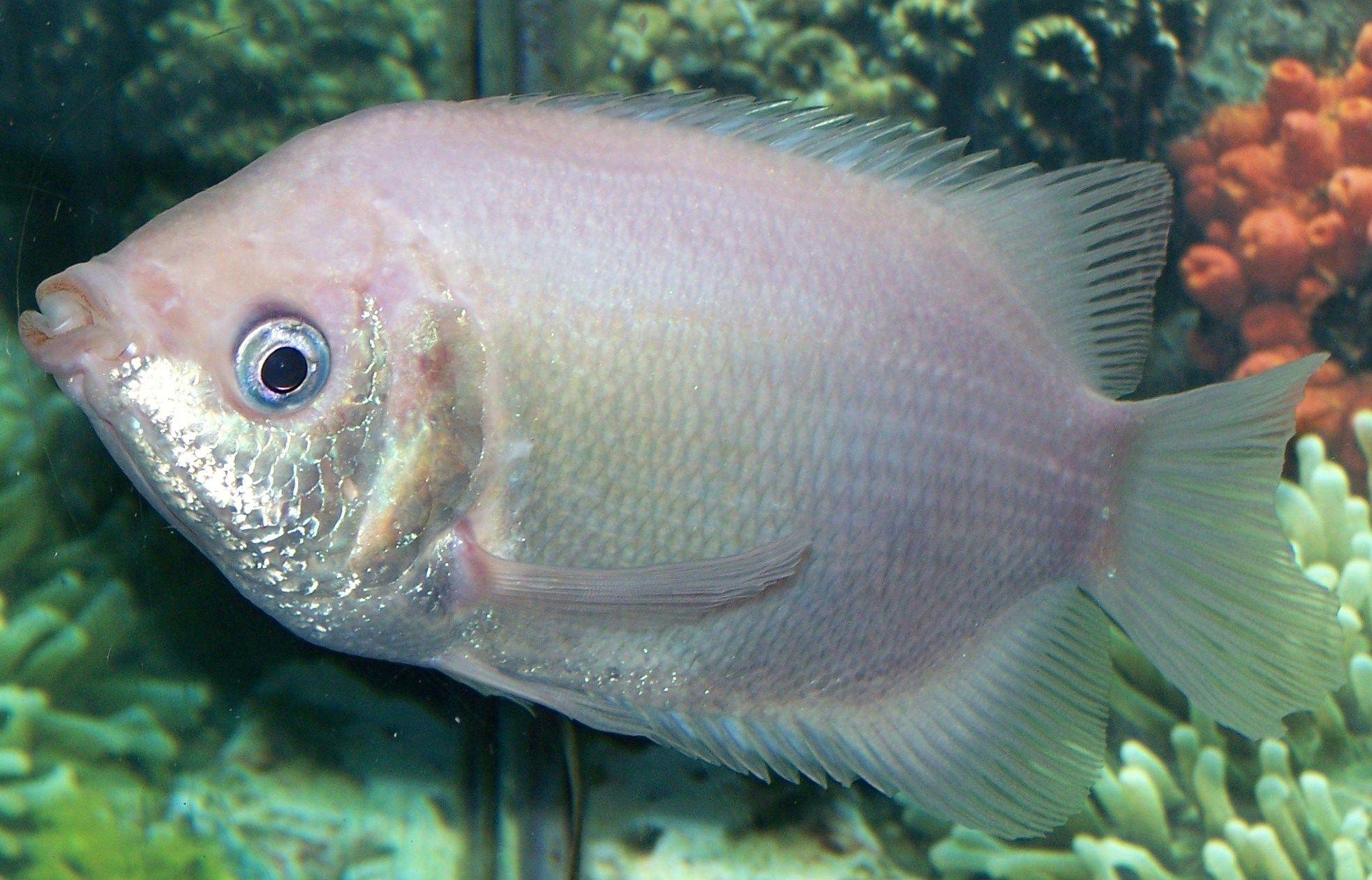 8 Year Old Kissing Gourami Aquarium Fish Tank Kissing Gourami Water Animals