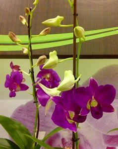 Dendrobium Ungu Anggrek Ungu