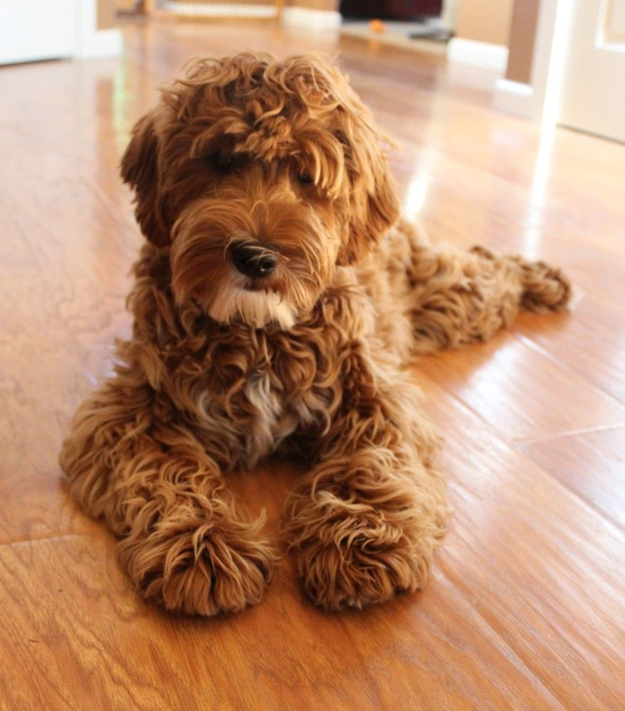 Photo Galley of Australian labradoodle puppies