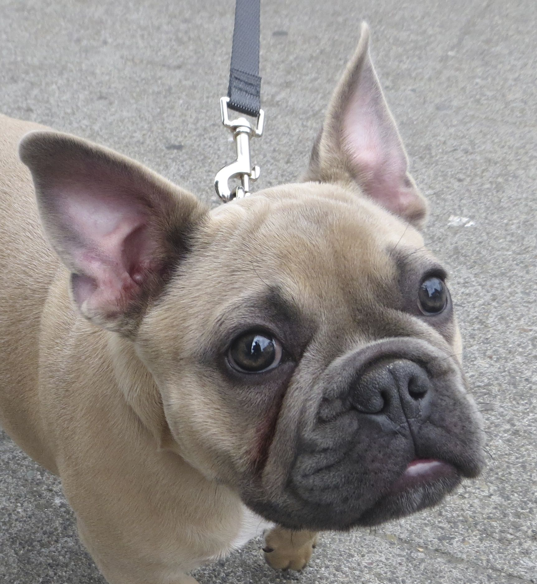 French Bulldog Pictures Funny French Bulldog Puppies Blue Fawn