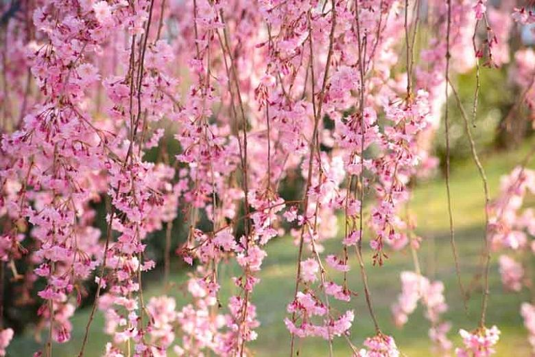 Prunus Pendula Is An Ornamental Weeping Cherry Tree That Has Been Cultivated In Japan For Many Flowering Cherry Tree Weeping Cherry Tree Tree With Red Flowers