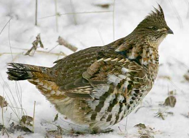 pennsylvania state bird ruffed grouse state birds pinterest
