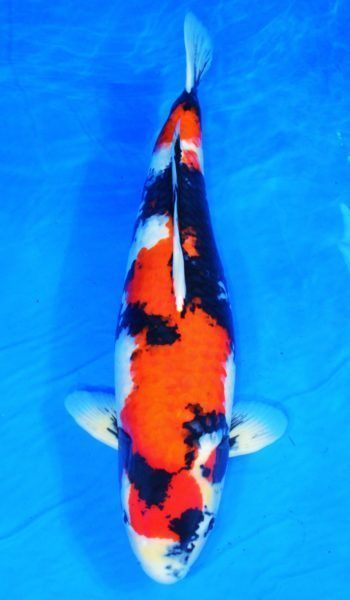 34 inch showa marusei imported japanese koi fish live for Imported koi fish