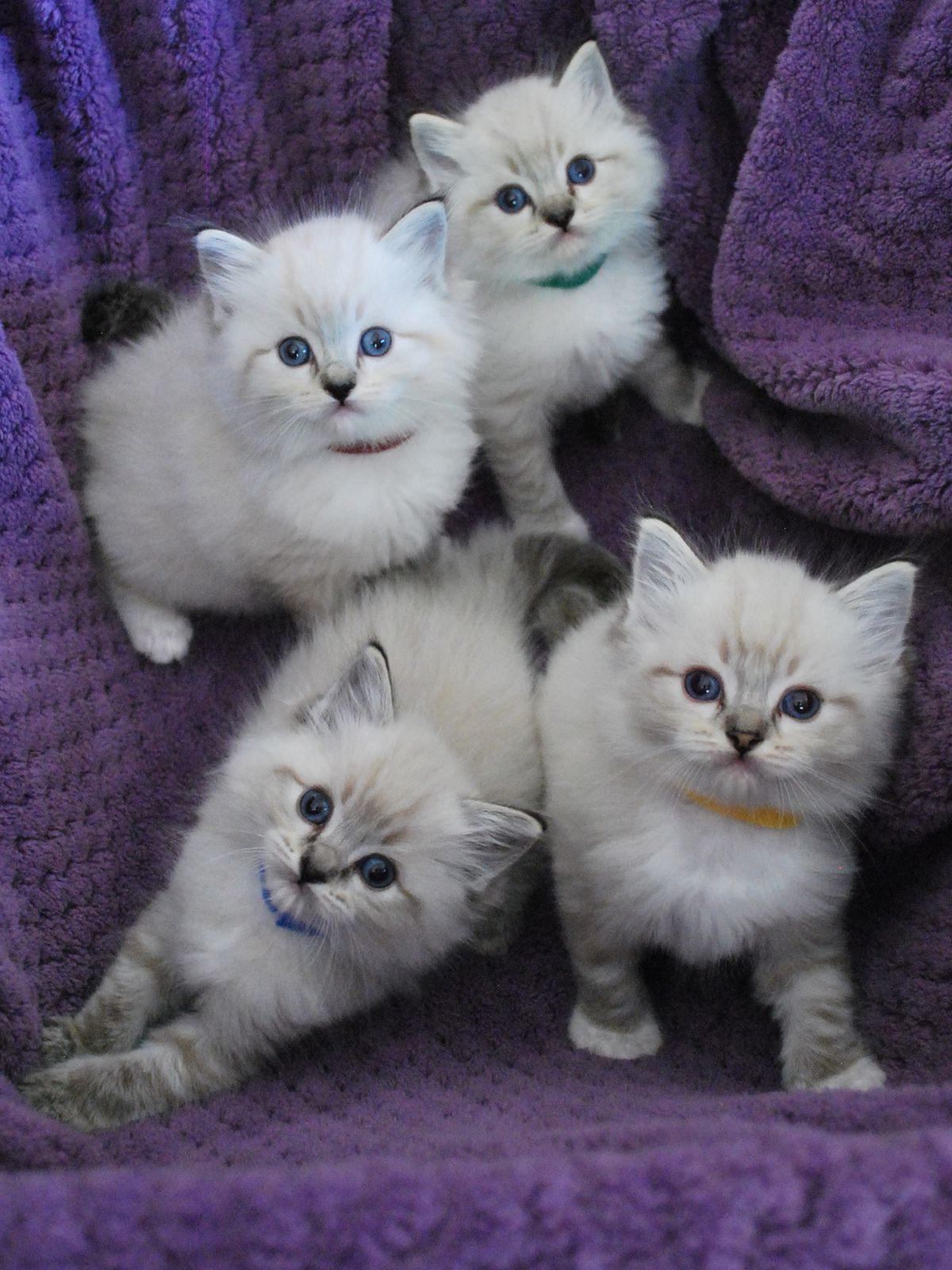 Great Contrast With The Purple Cloth And White Kittens You Can