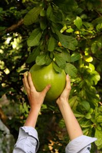 Chandler Pummelo Trees To Plant Citrus Trees Fruit Trees