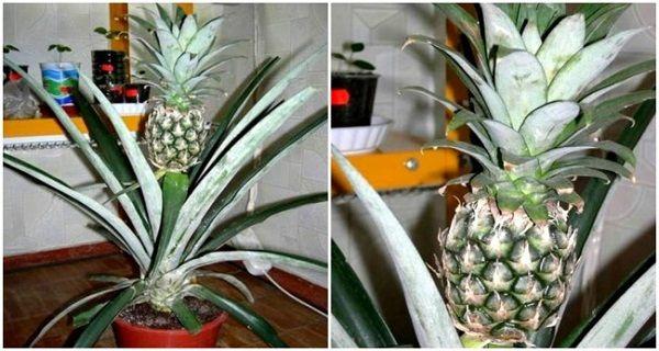 Growing Pinele