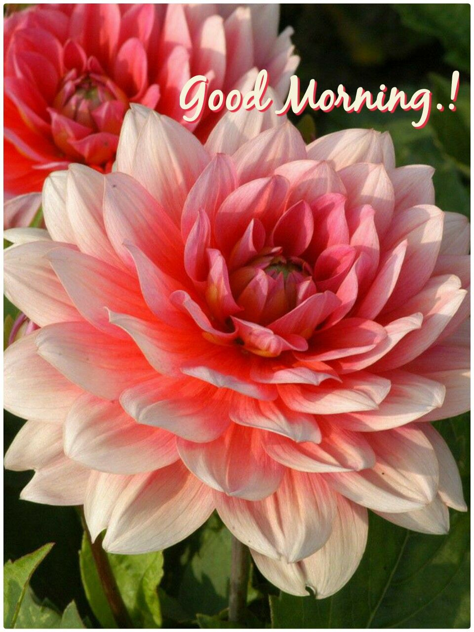 Pin By Anoop Patel On Good Morning Pinterest Dahlia Flowers And