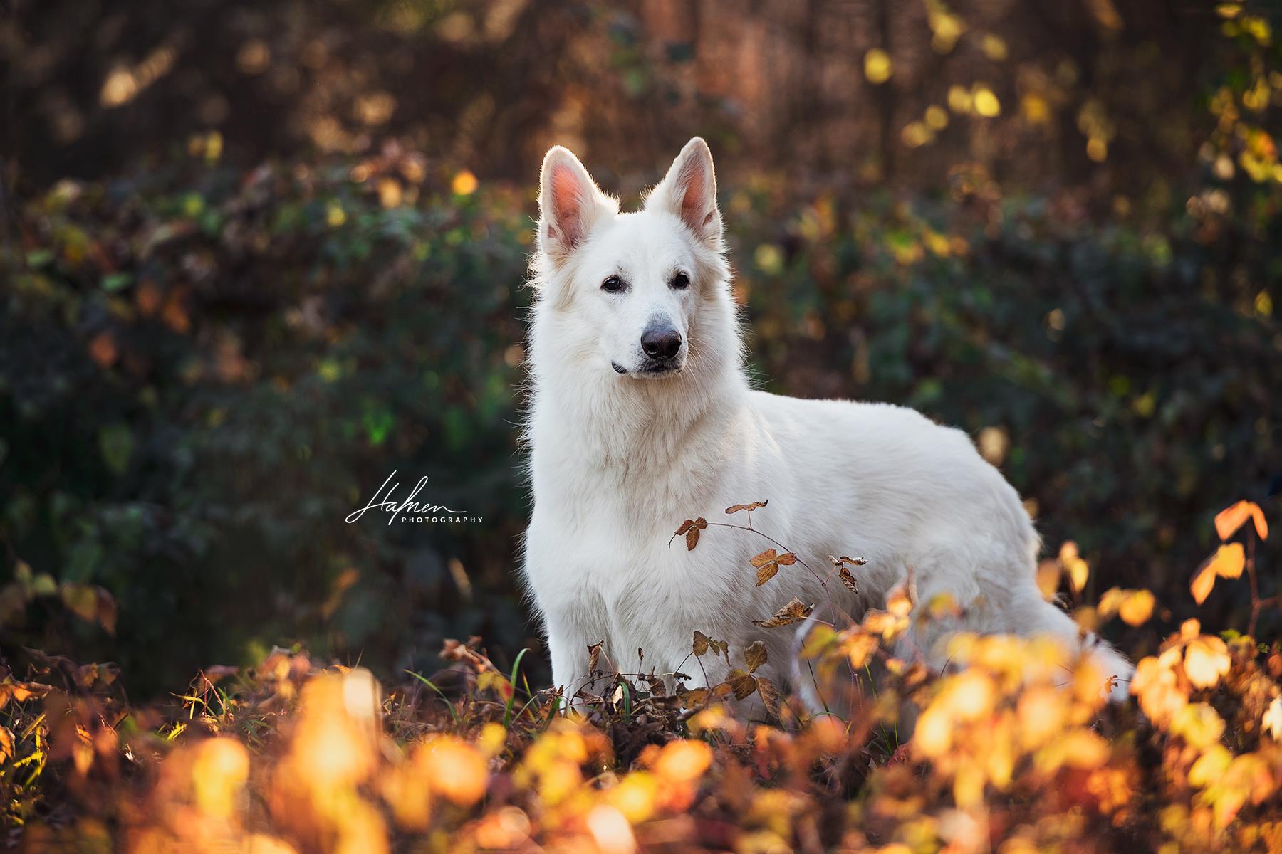 Weisser Schweizer Schafergund Steht Zwischen Bunten Blattern Herbst Hund Bilder Foto Fotografie Fotoshooting Hunde Fotos Hunde Bilder Hundefotos