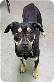 Rottweiler Puppy For Sale In Roanoke Va Adn 53866 On Puppyfinder