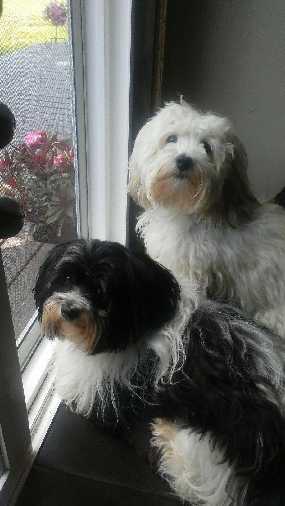Havanese Intelligent And Funny Lustige Hunde Hundebilder